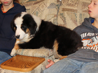 Amos is a black tri male Miniature American Shepherd puppy for sale in Iowa.