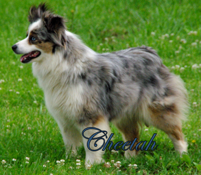 O'Neil's Flashin Cheetah - a red merle female Miniature American Shepherd