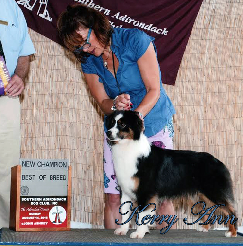 AKC Miniature American Shepherd Irresistible Angel's Kerry Ann