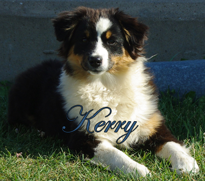 Irresistible Angel's Kerry Ann - a black tri female Miniature American Shepherd