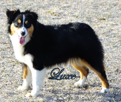 Triple R's Irresistible Angel Luxe - a black tri female Miniature American Shepherd