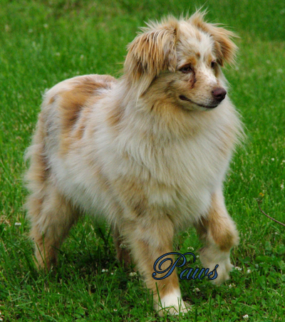 O'Neil's Cinnamon Sticky Paws - A red merle female Miniature American Shepherd