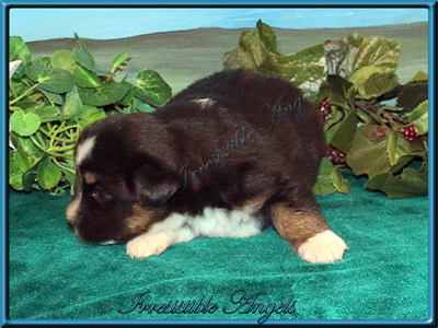 Black Tri Female Miniature American Shepherd puppy for sale in Central Iowa.