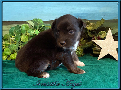 Black Tri Male Miniature American Shepherd puppy for sale in Central Iowa.