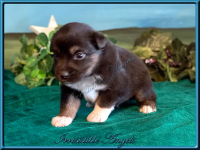 Black Tri Male Miniature American Shepherd with lots of copper puppy for sale.