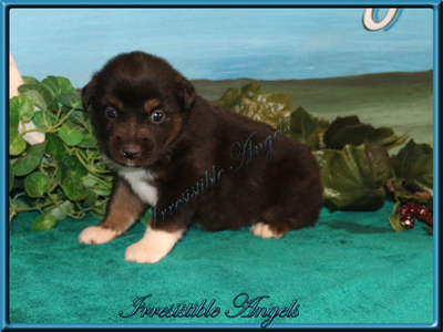 Black Tri Male Miniature American Shepherd puppy with lots of copper.