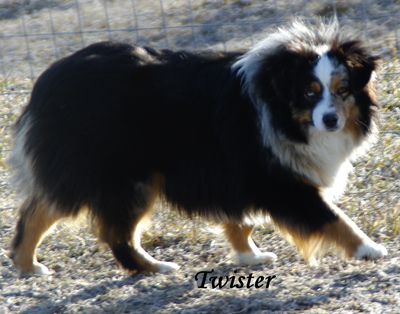 Rim Fire Twister - a blue merle female Toy Aussie.